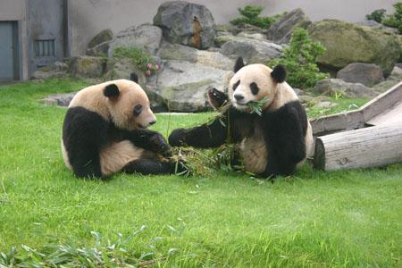 """白浜野生动物园产下的一对大熊猫双胞胎――""""隆浜""""和""""秋浜""""将于本月底"""
