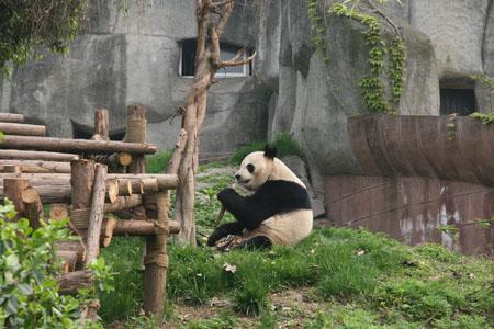儿歌小宝贝快快睡歌谱-地震后的熊猫宝宝们