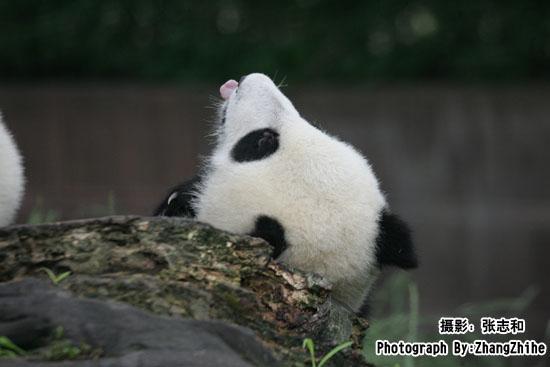 看到一对活泼可爱的大熊猫正在外面的活动场上的一颗树上嬉戏,所有的