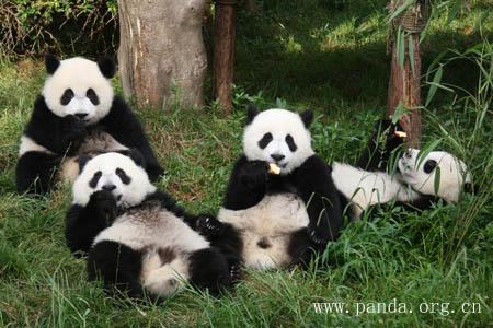 壁纸 大熊猫 动物 450_300