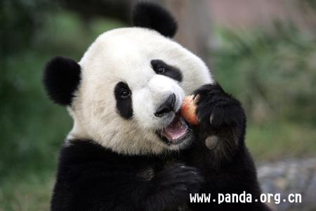 成都大熊猫落户哈尔滨北方森林动物园