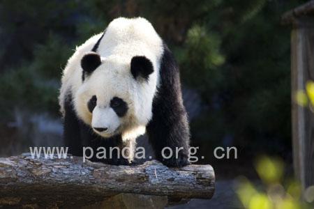 """成都首只旅美大熊猫后代""""美兰""""即将归国"""