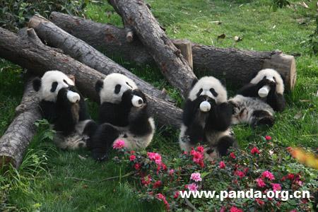 赠澳大熊猫将从成都大熊猫基地优选送出