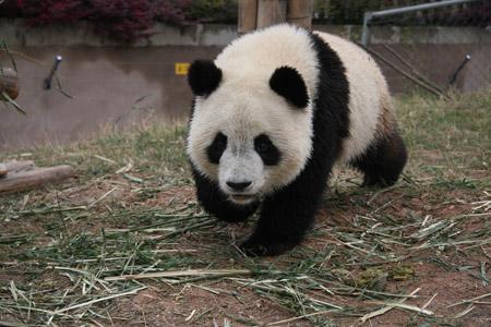 在赴澳门定居之前,这两只可爱的大熊猫也将迎来他们的两周岁生日.