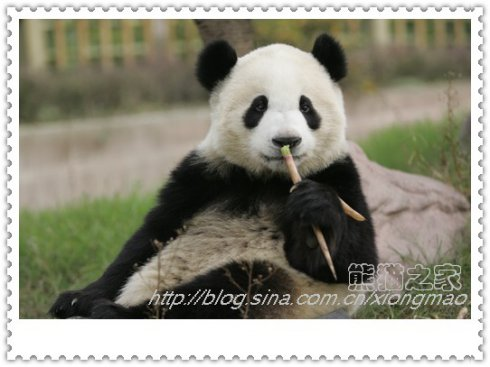 成都大熊猫的那些事儿