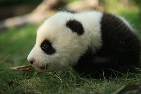 """一只可爱的大熊猫仔仔""""小胖""""有幸被尼古拉斯先生和"""
