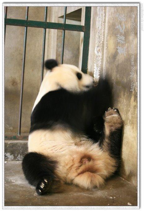 大熊猫的艰难产仔过程