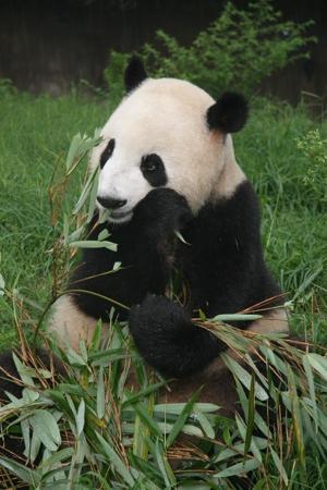 一直致力于野生动物保护的nba明星姚明也特别赶到熊猫谷,参加了启动