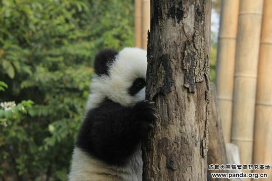 虽然已经慢慢进入严冬,但是大熊猫基地的部分树木并没有落叶,依旧郁郁葱葱,熊猫宝宝是最喜欢冬天的了,它们在熊猫幼儿园里面玩得十分开心,时而爬爬树桩练练爪子,时而扯扯树叶闻闻香味。      这小可爱正在磨自己的小爪子呢