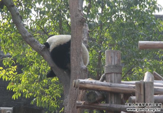 成都/文艺熊猫的睡姿,即使睡觉也要优雅的靠在树干上,醒来还能...