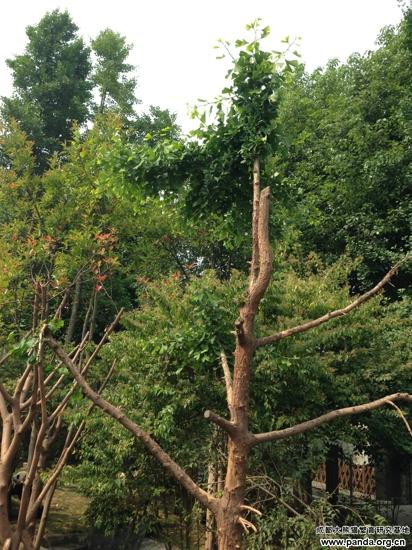 小树发新芽 - 成都大熊猫繁育研究基地