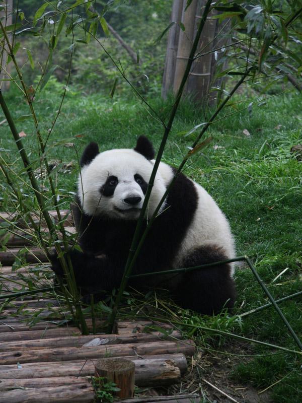 成都大熊猫繁育研究基地都江堰繁育野放